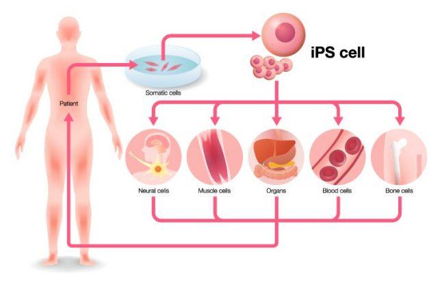 First supercentenarian derived stem cells created