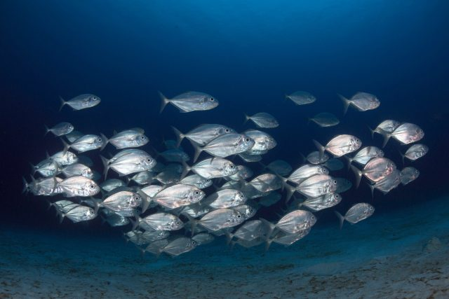 Fish school by randomly copying each other rather than following the group scaled