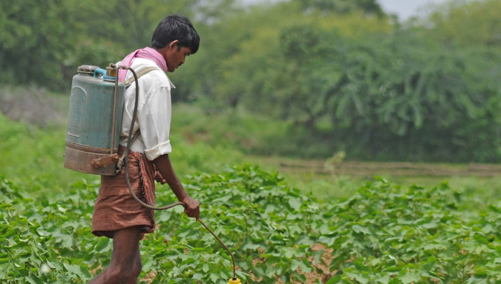 Long term analysis shows GM cotton no match for insects in India