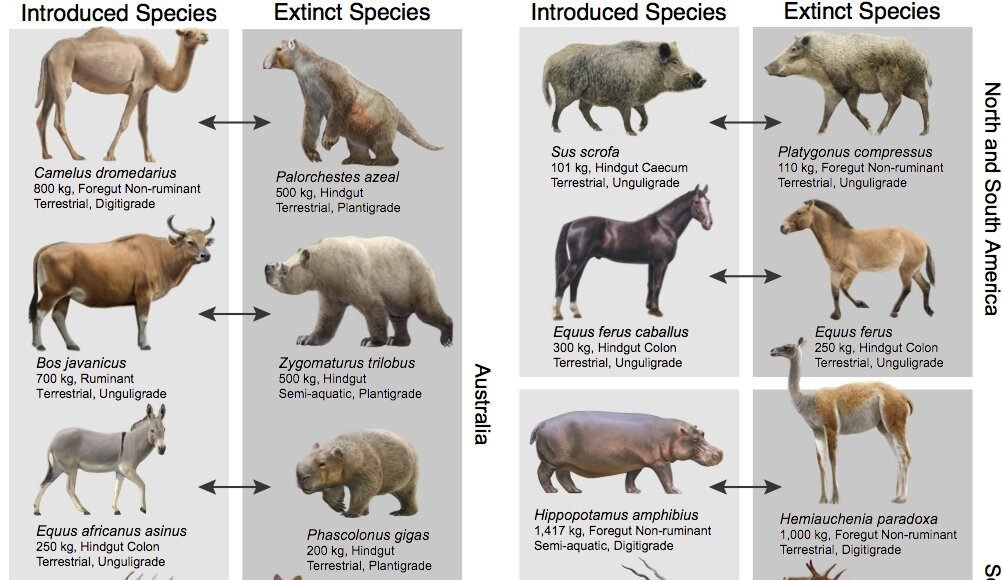 Pablo Escobars hippos may help counteract a legacy of extinctions