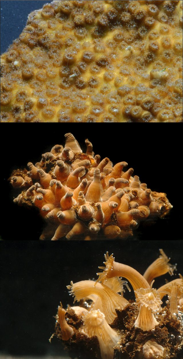 Reef building coral exhibiting disaster traits akin to the last major extinction event