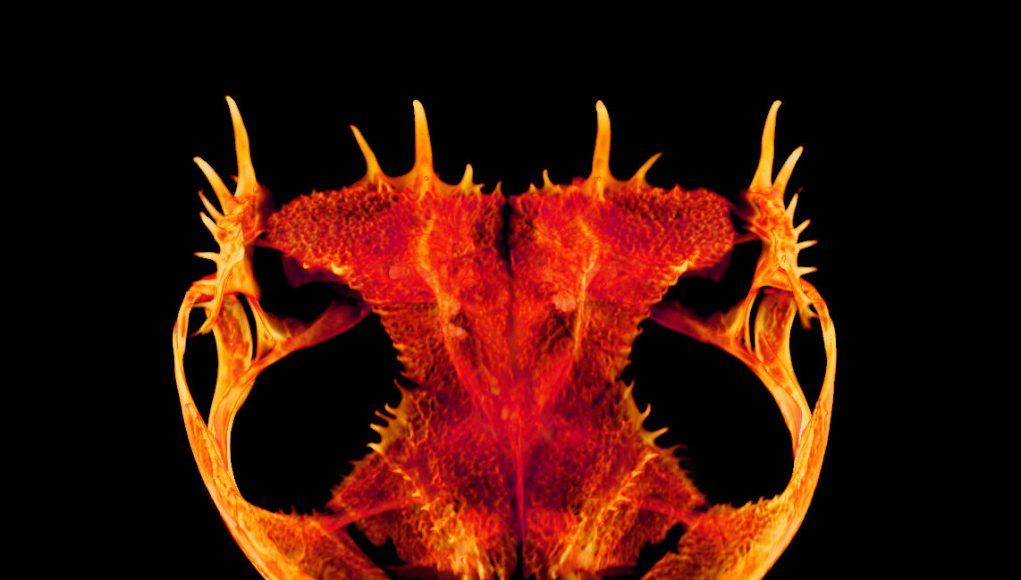 Skulls gone wild How and why some frogs evolved extreme heads
