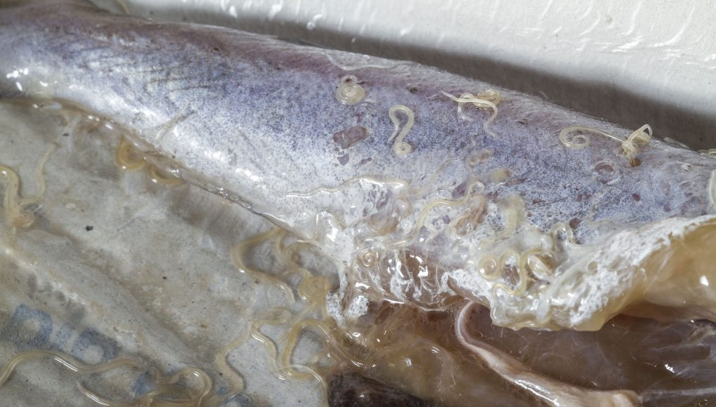 Sushi parasites have increased 283 fold in past 40 years scaled