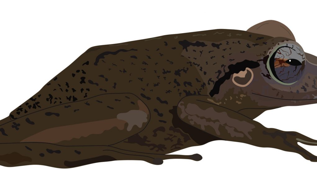Coqui fossil from Puerto Rico takes title of oldest Caribbean frog