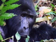 Great apes and COVID 19 Experts raise the alarm for endangered species