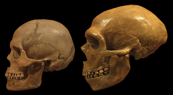 Modern humans Neanderthals share a tangled genetic history study affirms