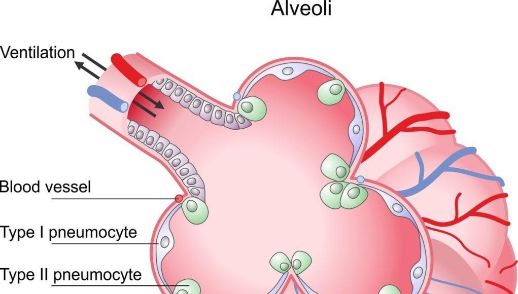Using alveolar epithelia as a model for coronavirus infection