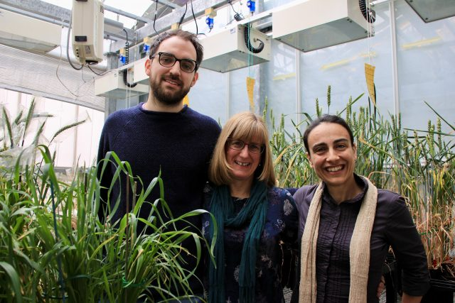 Scientists take a step closer to heat tolerant wheat scaled