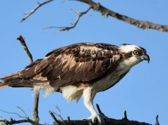 Study finds microplastics in Floridas birds of prey for first time