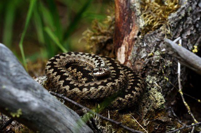 The European viper uses cloak and dazzle method to escape predators