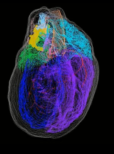 The first 3 D map of the hearts neurons