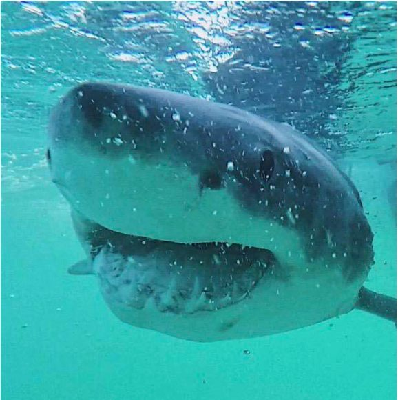Great white shark diet surprises scientists