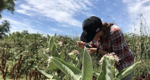 Milkweed only food source for monarch caterpillars ubiquitously contaminated