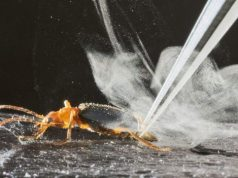 Research reveals the chemistry behind the bombardier beetles extraordinary firepower
