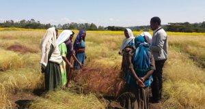 Scientists unlock secrets of Ethiopias superfood in race to save it from warming climate