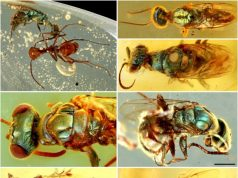 Amber fossils unlock true color of 99 million year old insects
