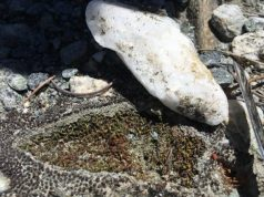 Desert mosses use quartz rocks as sun shades