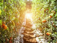Detection of electrical signaling between tomato plants raises interesting questions