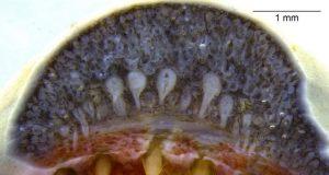 Fangtastic Biologists report snake like dental glands in amphibians