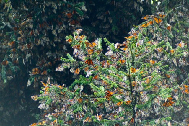 Monarchs migrate and fly differently but meet up and mate