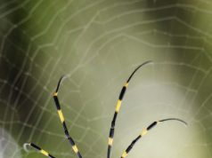 Spider silk made by photosynthetic bacteria