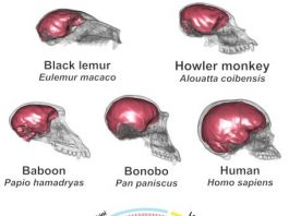 The human brain not just large but finely shaped