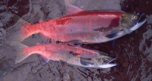 Alaskas salmon are getting smaller affecting people and ecosystems
