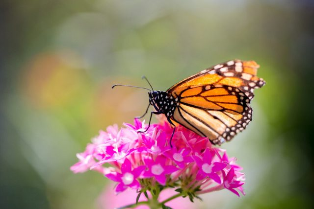 Findings refute idea of monarchs migration mortality as major cause of population decline