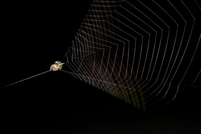 Flies and mosquitoes beware here comes the slingshot spider