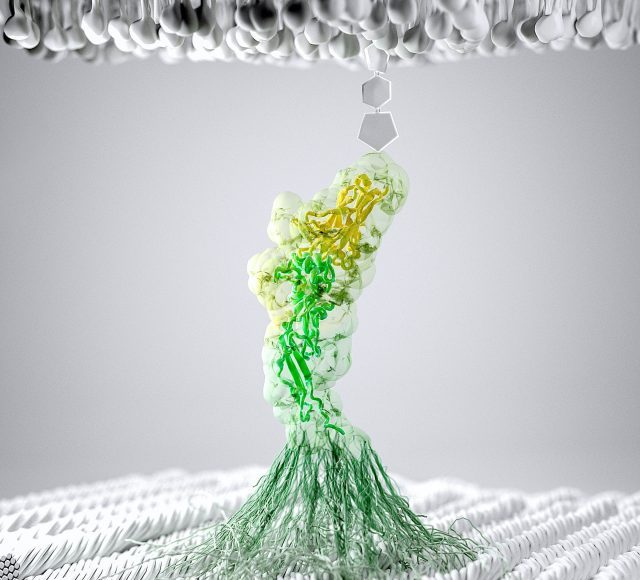 How bacteria adhere to fiber in the gut