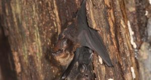 Mother bats use baby talk to communicate with their pups