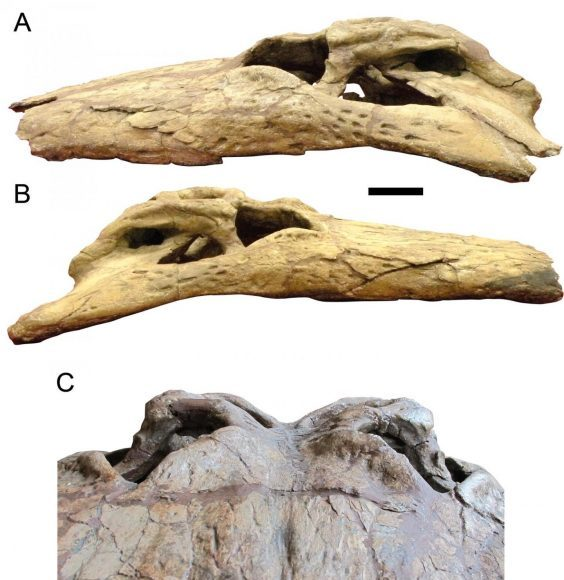 New study confirms the power of Deinosuchus and its teeth the size of bananas 1