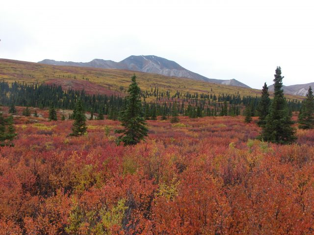 North American cold climate forests are already absorbing less carbon study shows