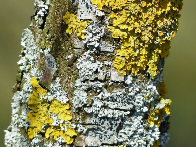 Study reveals how lichens stayed together split up swapped partners and changed form over 250 million years