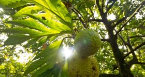 Could breadfruit be the next superfood