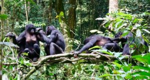 Differing diets of bonobo groups may offer insights into how culture is created 1
