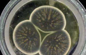 Genome of Alexander Flemings original penicillin producing mould sequenced