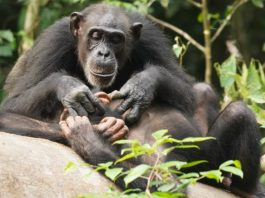 Like humans chimpanzees can suffer for life if orphaned before adulthood