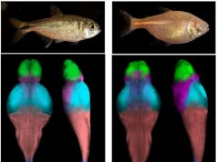 Mapping cavefish brains leads to neural origin of behavioral evolution