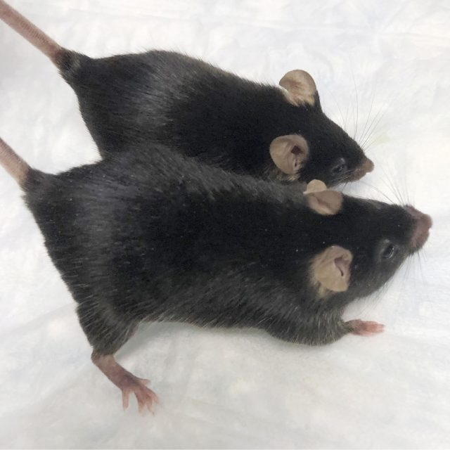 Mighty mice stay musclebound in space boon for astronauts