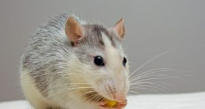 Rodent ancestors combined portions of blood and venom genes to make pheromones