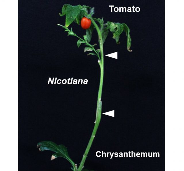 Scientists identify an enzyme that facilitates grafting between plants of different families