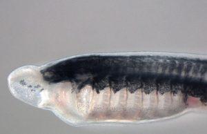 Scientists identify gene family key to unlocking vertebrate evolution