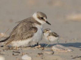 Shorebirds more likely to divorce after successful breeding