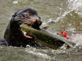 Early arriving endangered Chinook salmon take the brunt of sea lion predation
