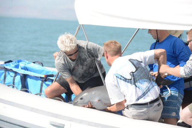 Endangered vaquita remain genetically healthy even in low numbers new analysis shows
