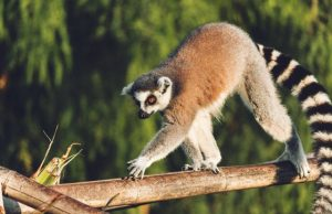 Humans and climate drove giants of Madagascar to extinction
