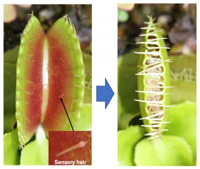 Researchers probe memory of the Venus flytrap