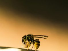 Scientists engineer bacteria killing molecules from wasp venom