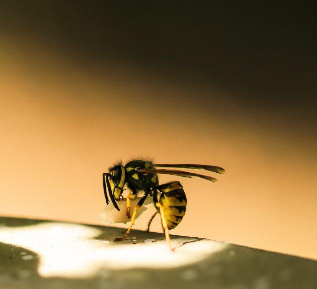 Scientists engineer bacteria killing molecules from wasp venom